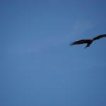 Adler überall