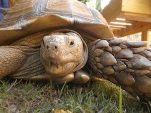 Schildkröte in Khartum