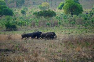 Die Elefantenherde mit dem Kalb (ganz vorne)