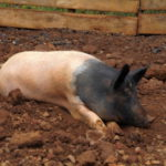 Eins der Schweine