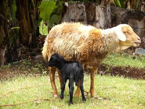Das kleine Lamm