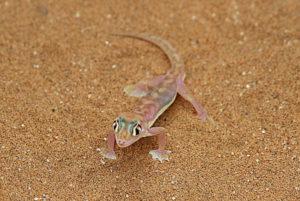 Der Palmato-Gecko